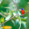 North America, USA, Florida, Immokalee, Painted Bunting