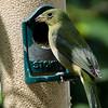 North America, USA, Florida, Immokalee, Painted Bunting, Female on Bird Feeder