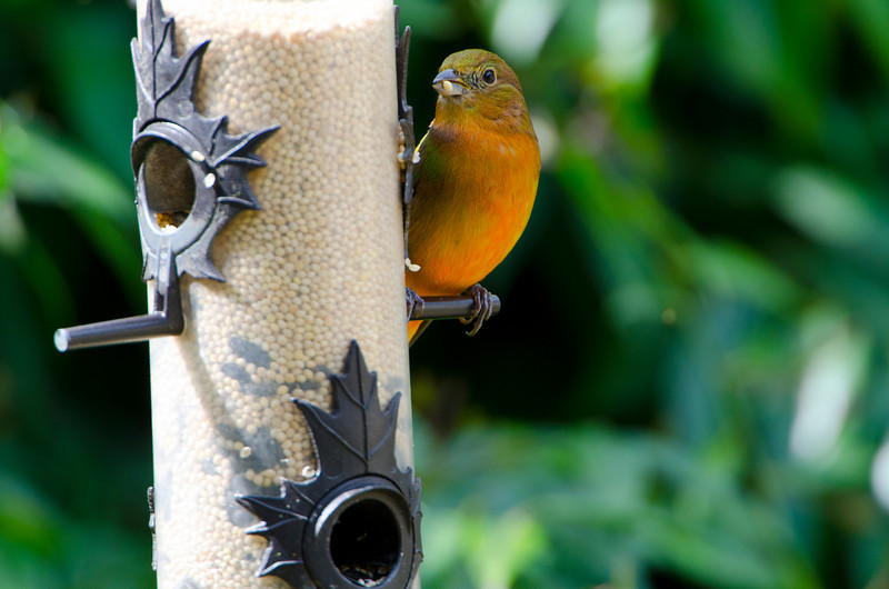 North America, USA, Florida, Immokalee, Painted Bunting  Juvenile Male on Feeder