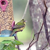Painted Bunting (Female) - with a mohawk!