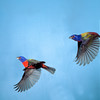North America, USA, Florida, Immokalee, Painted Bunting, Males  Flying