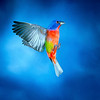 North America, USA, Florida, Immokalee, Painted Bunting, Male Flying