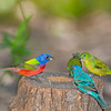 North America, USA, Florida, Immokalee, Painted Buntings male aqnd female  with male Indigo Bunting