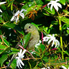 North America, USA, Florida, Immokalee, Painted Bunting Female