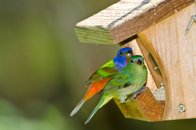 North America, USA, Florida, Immokalee, Painted Bunting. male and female