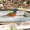 North America, USA, Florida, Immokalee, Painted Bunting, Male at Bird Bath