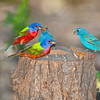 North America, USA, Male Florida, Immokalee, Male Painted Bunting with Indigo bunting
