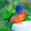 North America, USA, Florida, Immokalee, Painted Bunting, Male  puzzeled on Bird bath
