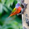 North America, USA, Florida, Immokalee, Painted Bunting, Male at Bird Feeder