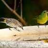 North America, USA, Florida, Immokalee, Painted Bunting Female with Myrtle Warbler at bird bath