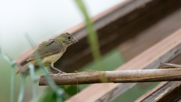Painted bunting (juv)