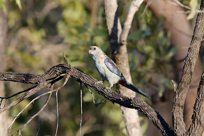 Pale-headed Rosella - Northern Subspecies