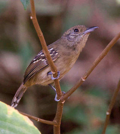 Black-Crowned Antshrike (female)
