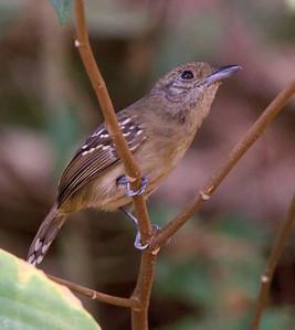 Black-Crowned Antshrike (female)
