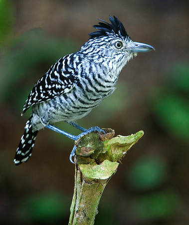 Barred Antshrike, Male