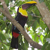 Back-Mandibled Toucan