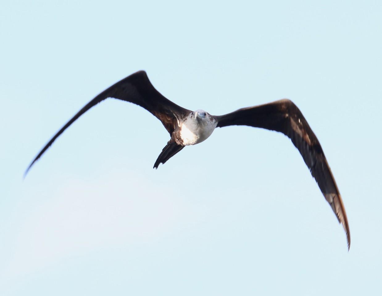 Magnificent Frigate Bird (female)
