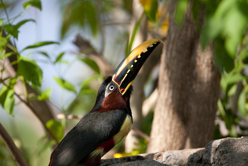 Chestnut Eared Aracari at Araras Lodge