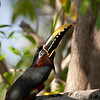Chestnut Eared Aracari at Araras Lodge