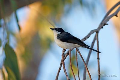 Restless (Paperbark) Flycatcher