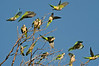 The Monk Parakeets of Edgewater<br /> A triumph for conservation<br /> New Jersey