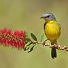 Eastern Yellow Robin (Eopsaltria australis)