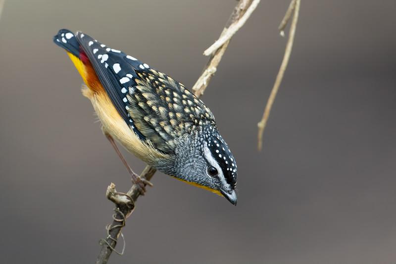 Male Spotted Pardalote (Pardalotus punctatus)