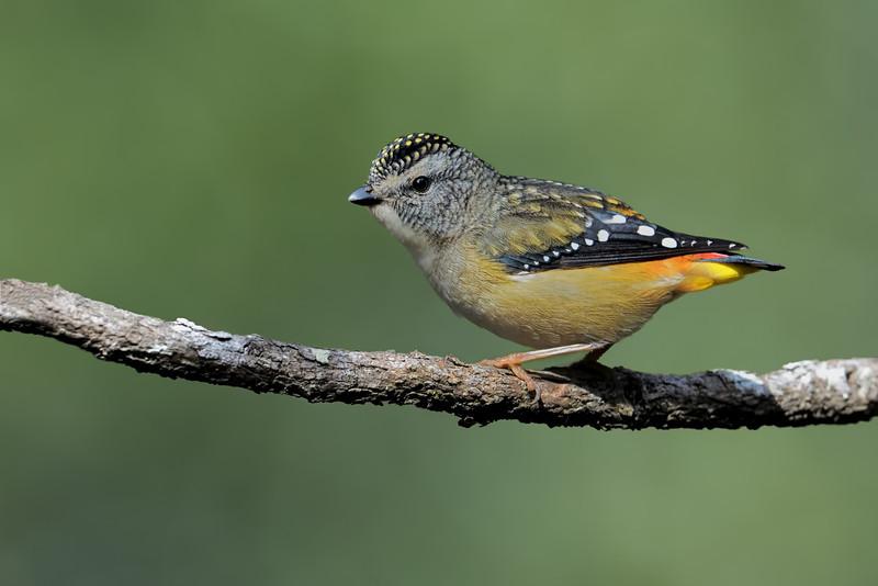 Female Spotted Pardalote (Pardalotus punctatus