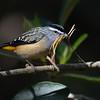 Male Spotted Pardalote (Pardalotus punctatus), Tallebudgera Creek, Burleigh Heads, Queensland.