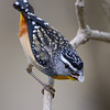 Spotted Pardalote with food (scale insect)