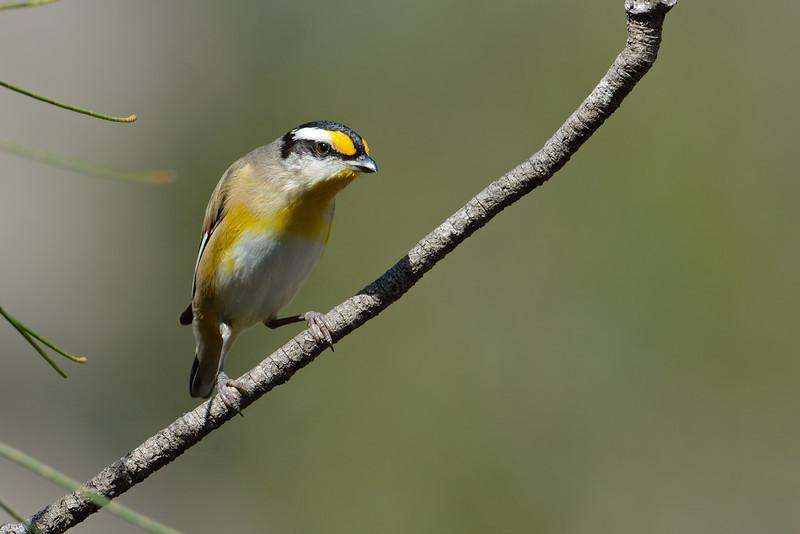 Striated Pardalote (Pardalotus striatus), Tallebudgera Creek, Burleigh Heads, Queensland.