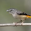 Female Spotted Pardalote (Pardalotus punctatus)