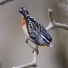 Spotted Pardalote (Pardalotus punctatus), Tallebudgera Creek, Burleigh Heads, Queensland.