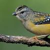 Spotted Pardalote female (Pardalotus punctatus)