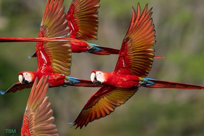 Scarlet Macaws in flight