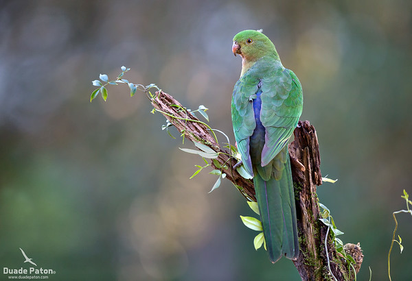 Australian King-parrot (Female)