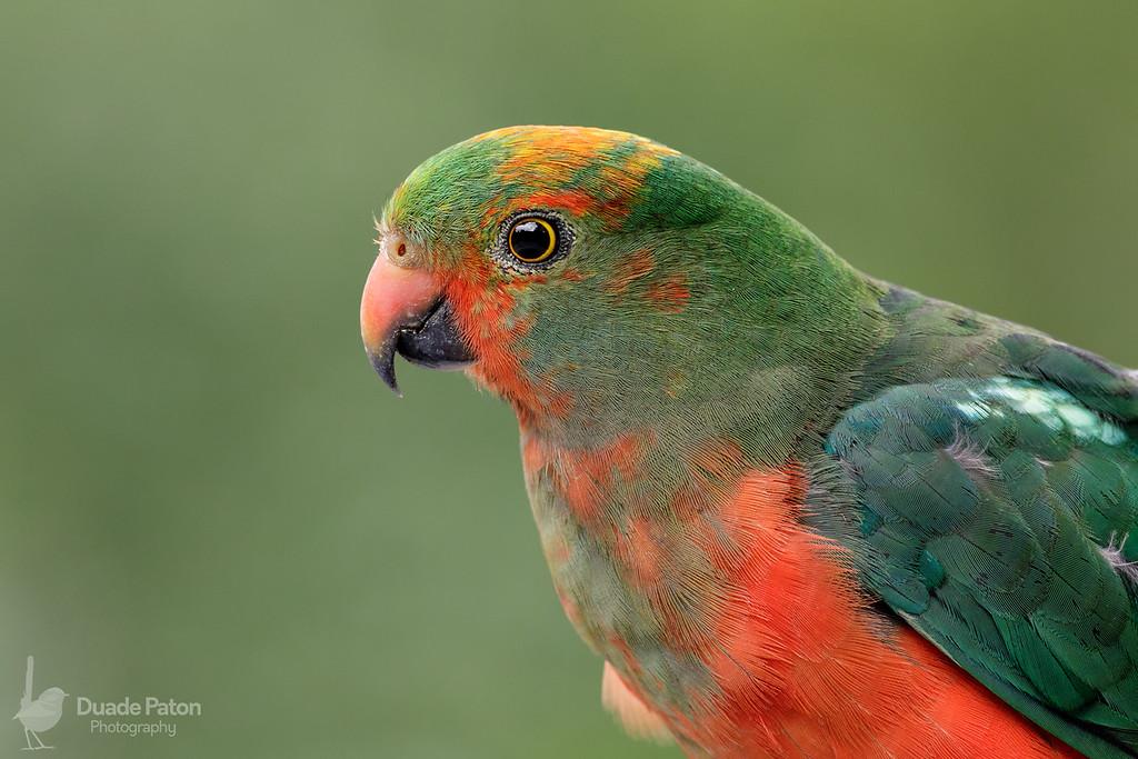Australian King Parrot - Male Juvenile