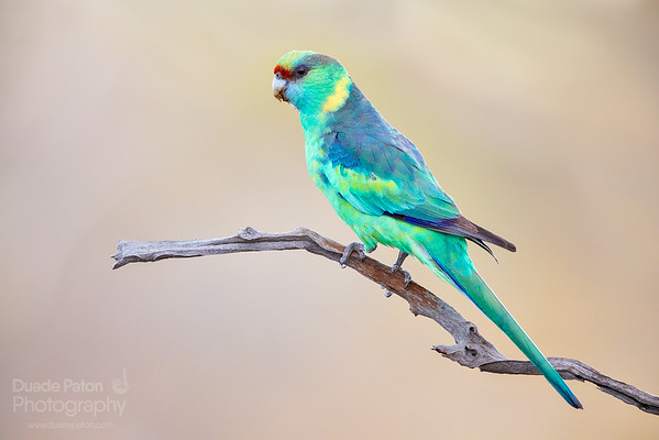 Mallee Ringneck