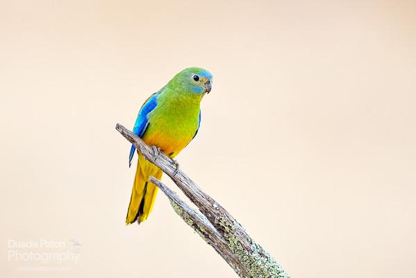 Turqoise Parrot