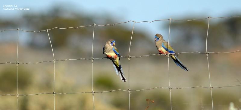 Bluebonnet   juveniles