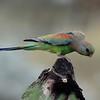 Mulga parrot
