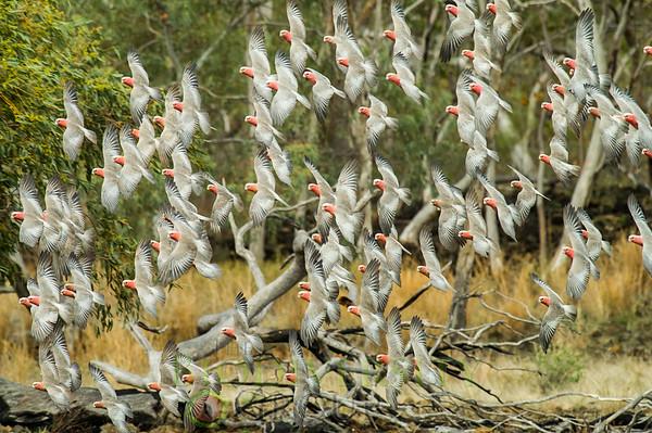 Galah or Rose-breasted Cockatoo (Cacatua roseicapilla)