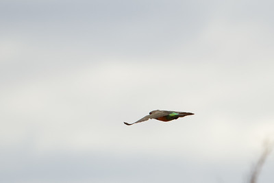 African Orange-bellied Parrot - Record - Tarangire National Park, Tanzania