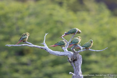 Austral Parakeet - Tierra del Fuego NP, Argentina