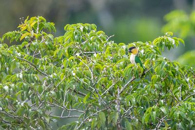 Black-headed Parrot - Amazon, Ecuador