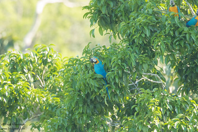 Blue-and-Yellow Macaw - Record - Amazon, Ecuador