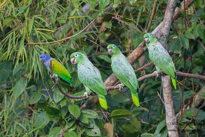 Blue-headed and Mealy Parrots - Tambo Blanquillo Clay Lick, Manu Biosphere Preserve, Peru