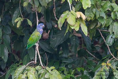 Blue-headed Parrot - Tambo Blanquillo Clay Lick, Manu Biosphere Preserve, Peru