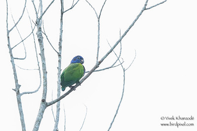 Blue-headed Parrot - Amazonia Lodge, Nr. Manu National Park, Peru