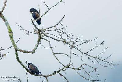 Bronze-winged Parrot - Mashpi, Ecuador